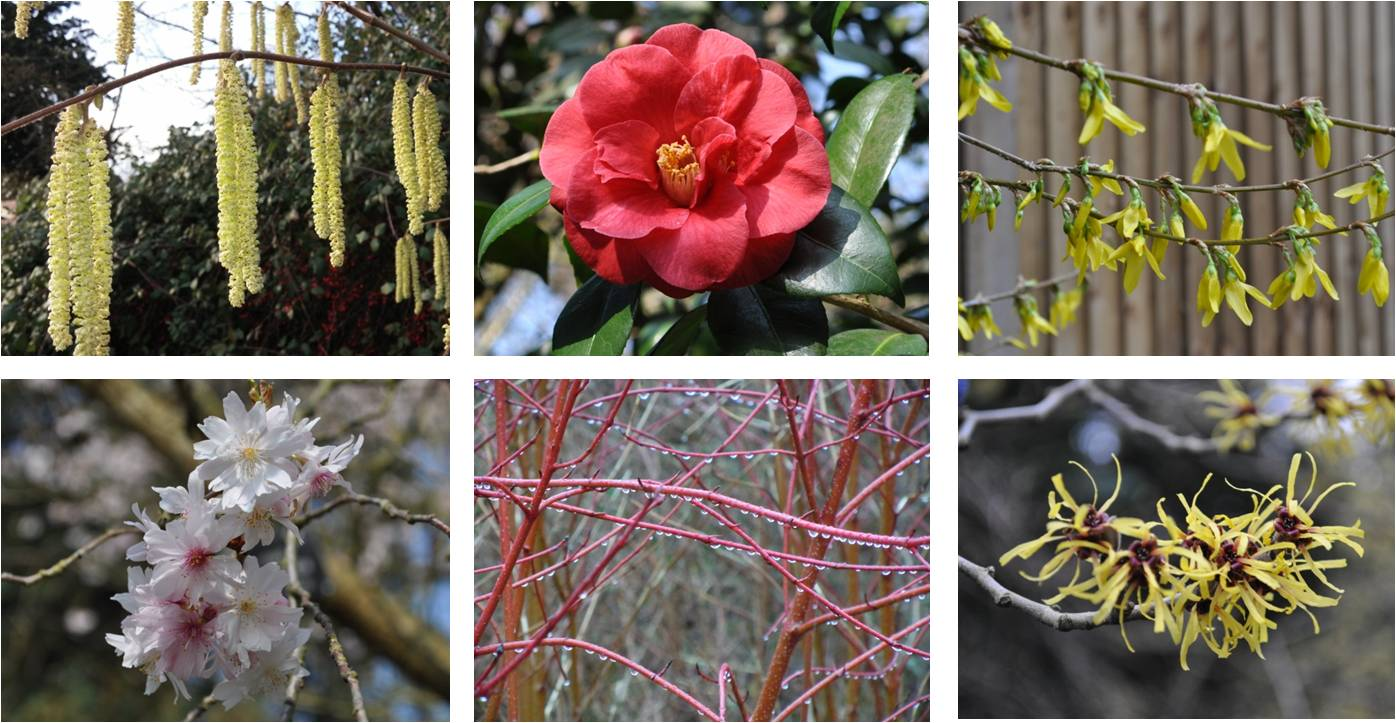 Shrubs for cutting and displaying indoors, Camellia, Forsythia, Common Hazel, Chinese Witch Hazel, Dogwood, Autumn Cherry